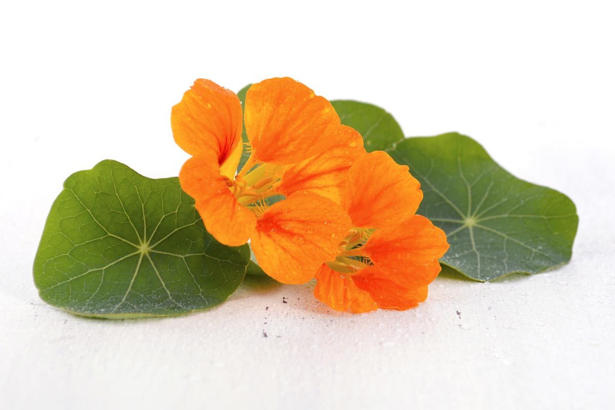Tropaeolum – this very delicious plant can improve the quality of our hair complexion.